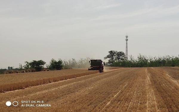 猜猜麦子一亩地能卖多少钱?